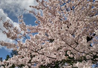 Hanami and Sakura. My hunt for the perfect cherry blossom view.